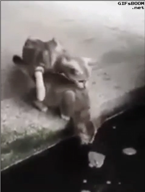 Fish attacks two cats and a kitten is dragged into pond